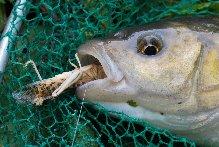 locust  caught chub!
