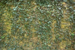 5270756-hdri-of-a-wall-covered-with-ivy