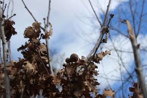 Oak apples