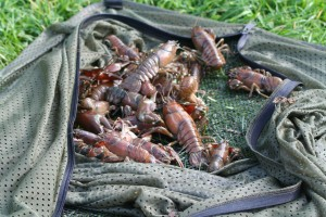 Let's hope the Trent doesn't produce Great Ouse quantities of Crayfish