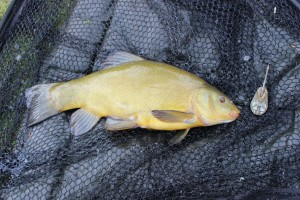 Another tench!