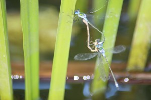 Damsel fly three-way
