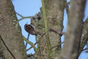 Treecreepers...everywhere!