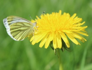 "A ""Green Veined White"" having lunch"