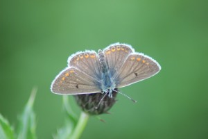 Brown Argus on the Trent...Coming to a field near me soon!