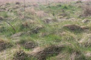 Feral grass