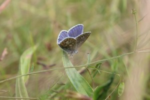 Common Blue on some Vetchling type species
