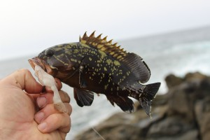 A Dusky Grouper from Costa Tegu