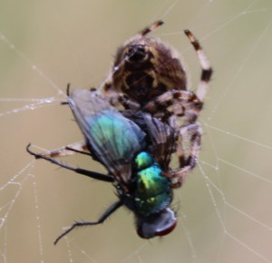 a.diadematus with greenbottle
