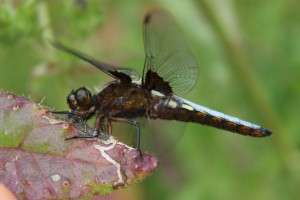 dragon fly bowden Houstead