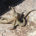 octopus going back costa teguise