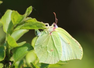 Brimstone butterfly female
